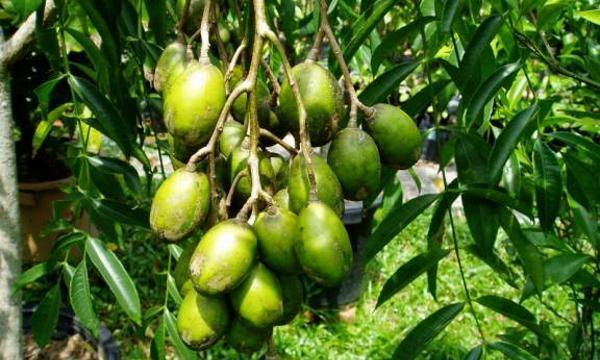 khasiat-buah-dan-daun-kedondong